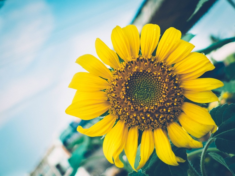 sunflower-1209386_1920