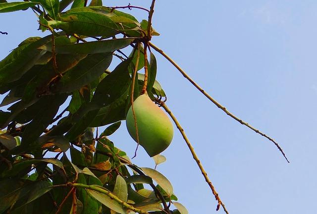 mango-317304_640