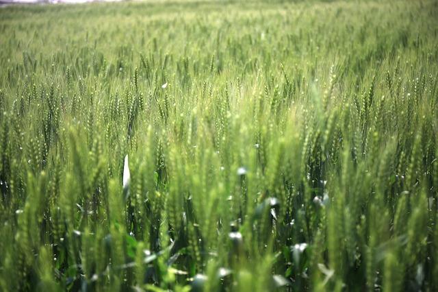 in-wheat-field-1597162_640.jpg
