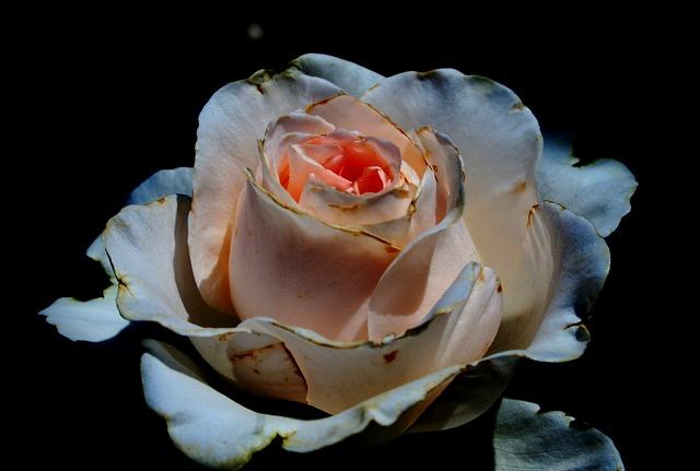 rose-203998_640.jpg