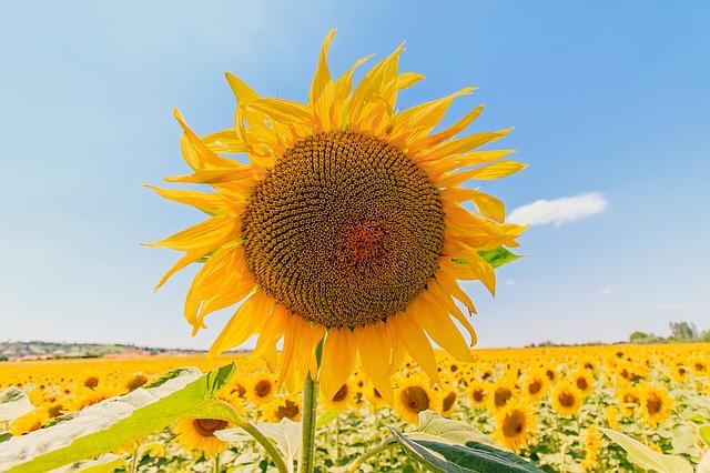 sunflower-1507956_640.jpg