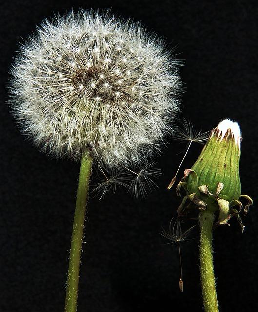 dandelion-862729_640.jpg