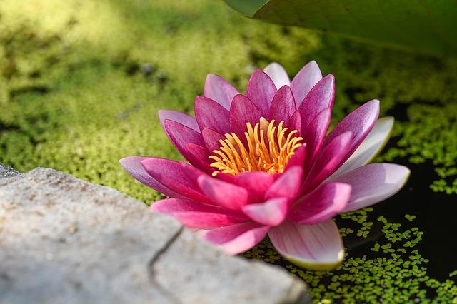 lotus-1209480_640.jpg