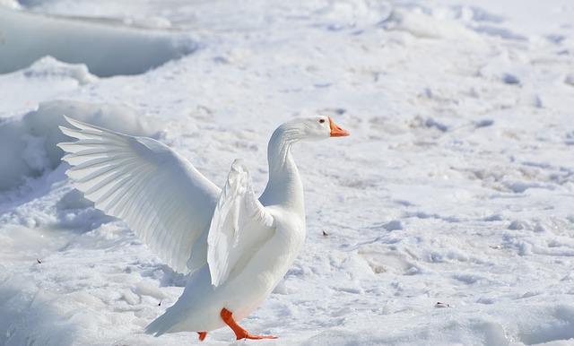 greater-snow-goose-284211_640.jpg