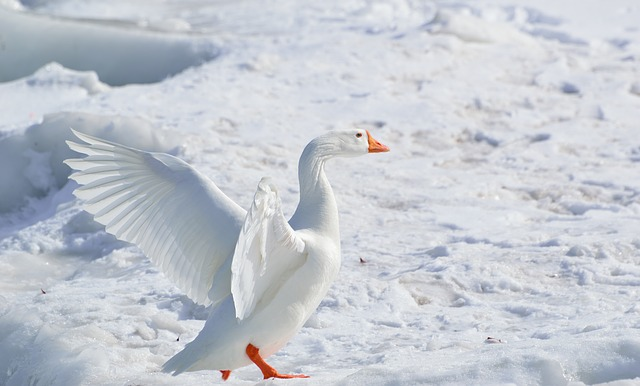 greater-snow-goose-284211_640.jpg