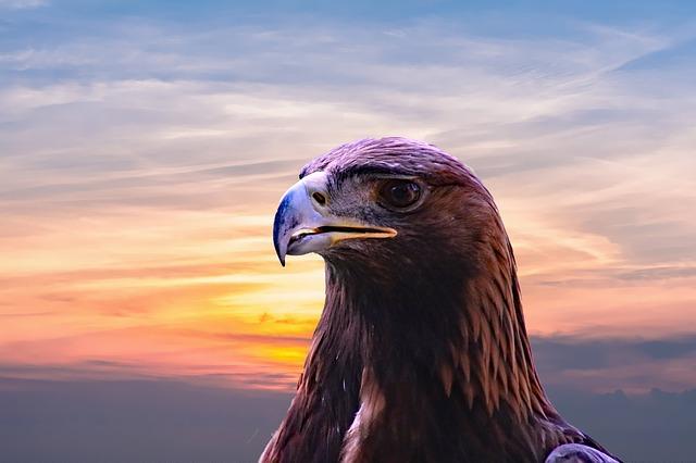 golden-eagle-2352186_640.jpg
