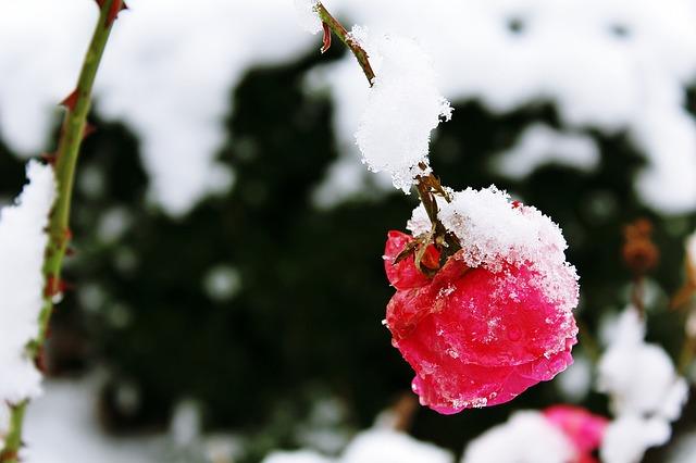 rose-1146368_640.jpg